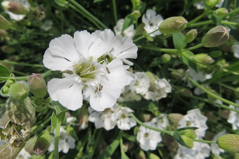 campanule à feuilles rondes-campanula rotundifolia L
