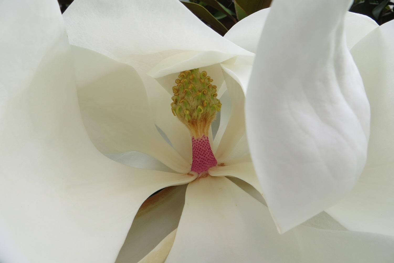 magnolia- magnolia grandiflora (2)