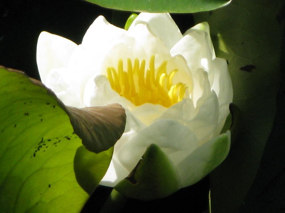 nénuphar- nymphea (2)